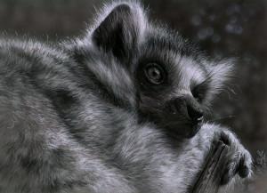 Kohlezeichnung Lemur