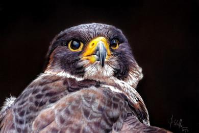 Wildlife art Falcon