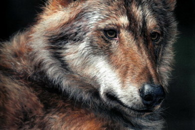 Grey wolf wildlife art
