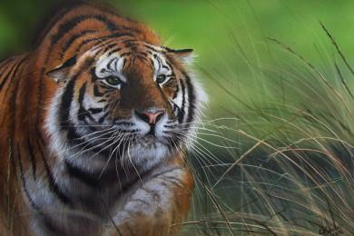 Wildlife art Tiger