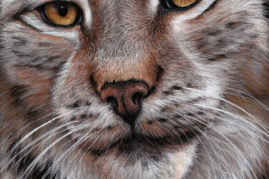Lynx pastel wildlife art