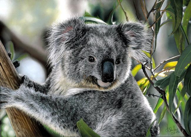 Pastel Painting Koala Christina Schulte Fine Art